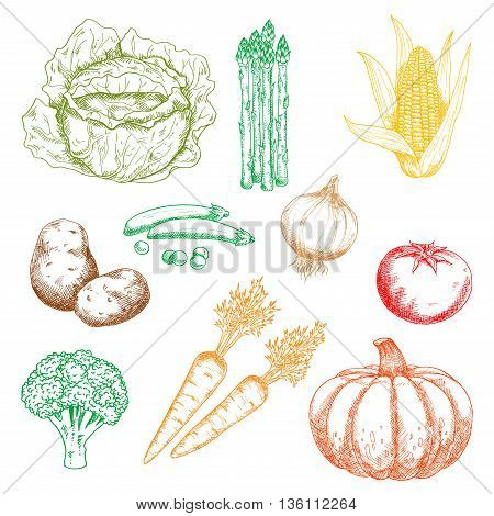 Ripe autumnal sweet orange pumpkin and carrots, green pods of peas, cabbage, broccoli and bundle of asparagus, yellow corn cob and pungent onion, tasty red tomato and potato vegetables isolated sketch icons