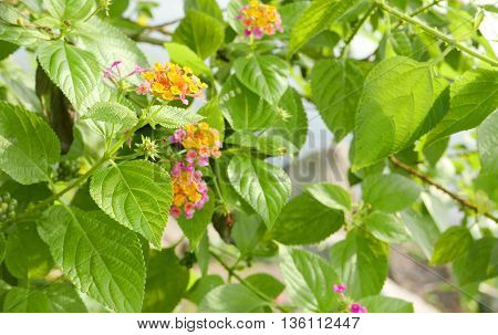 Yellow And Pink Small Blossom Flowers And Green Leaves