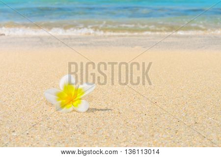 A frangipani flower sitiing a tropical sandy beach with the seashore in the background.