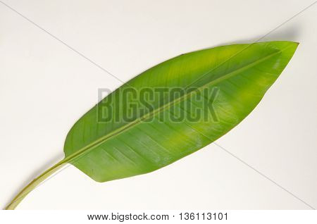 Banana (Other names are Musa banana acuminata Musa banana balbisiana and Musa x paradisiaca) leaf isolated on white background
