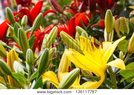 Flowers Of Lily With Leaves In Garden On Sunny Day