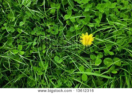 Background Of Green Grass With Dandelion