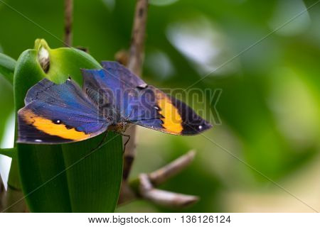 Orange oakleaf or dead leaf butterfly, Kallima inachus, perched on a leaf. macro photograph