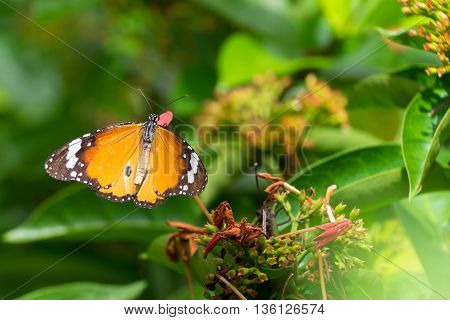 Monarch butterfly (Danaus plexippus) on Ixora flowers in garden.