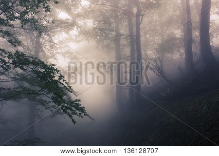 foggy forest  at summer in  the Smoky Mountains
