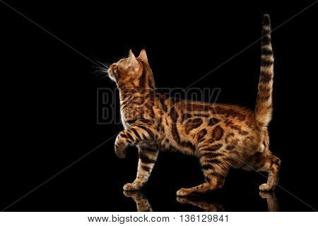 Playful Bengal Male Cat with beautiful spots Standing, Looking up, on Isolated Black Background, Side view, Adorable breed