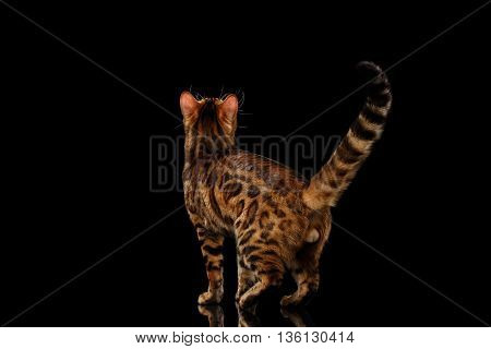 Playful Bengal Male Cat with beautiful spots Standing and Looking up on Isolated Black Background, Back view, Adorable breed