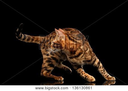 Playful Bengal Male Cat Play with his tail, on Isolated Black Background, Side view, running back