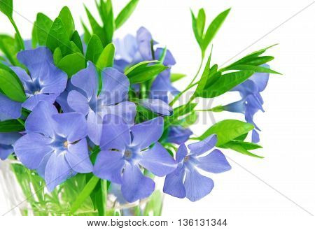 bouquet of flowers of periwinkle isolated on white background