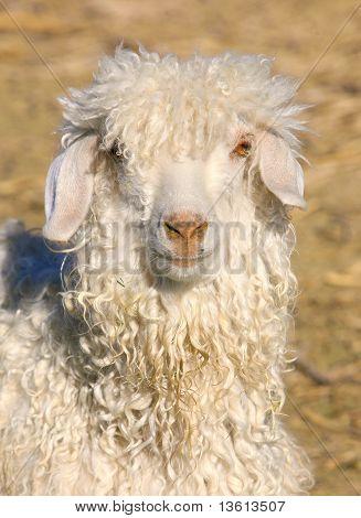Sheep Headshots