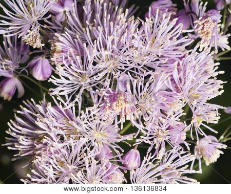 Columbine meadow-rue Thalictrum aquilegifolium detailed background macro selective focus shallow DOF