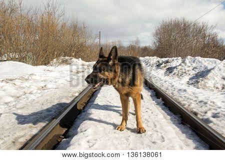 German Shepherd Dog On The Railway Road