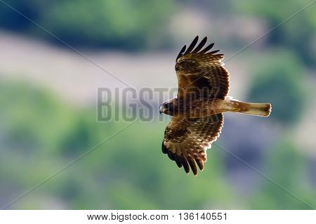 bird of prey flying (aquila pennata)