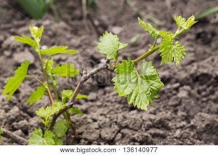 young sprout of grapes on a blurred background