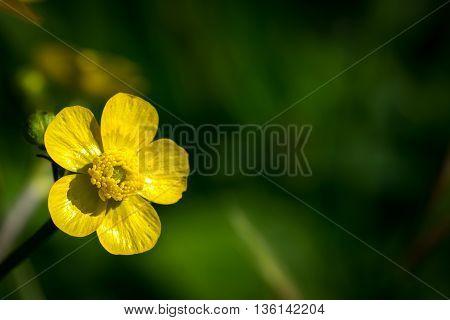 Common Buttercup Flower (ranunculus Acris)