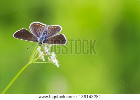 a little blue butterfly sitting on meadow on background of green grass