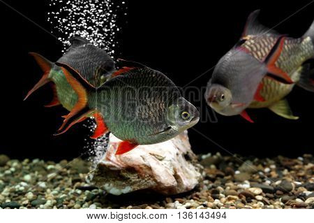 Carp Fish In The Aquarium
