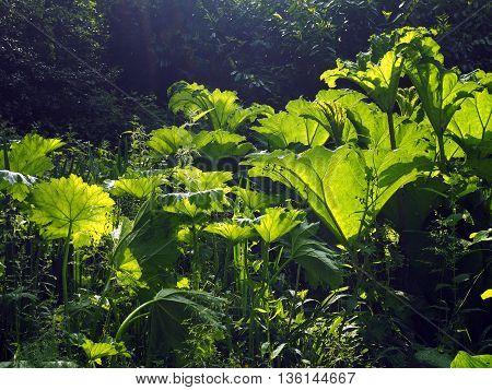 Gunnera plant i wetland garden in spring