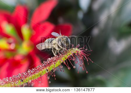Little bee catched by carnivorous pland Sundew (Drosera Capensis)