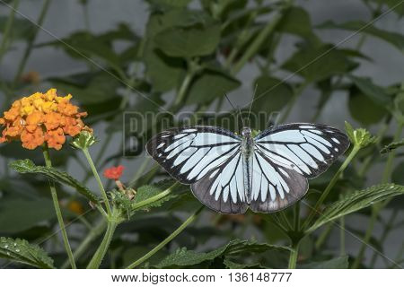 Common Wanderer butterfly sitting on a plant, close up