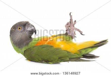Senegal parrot in front of white background