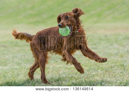 Red dog Irish setter in summer.Selective focus