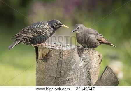 Starling Sturnus vulgaris juvenile and adult on a tree trunk