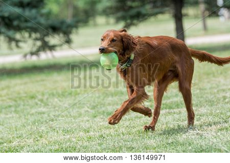 Red Irish Setter running selective focus on the dog