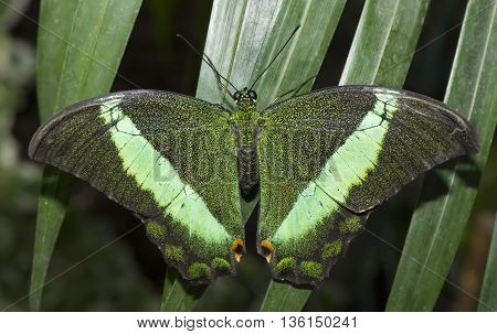 Emerald Swallowtail Butterfly on a plant , close up