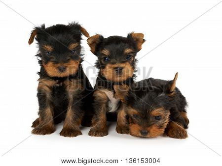 Three small and cute puppies of Yorkshire Terrier isolated on white