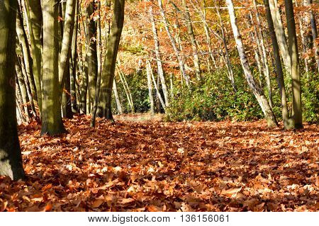 Autumn season nature background with tall trees and ground covered with fallen leaves