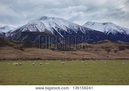 merino sheep in rural farm new zealand