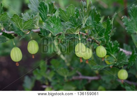 Gardening Topic: Bush Ripe Green Gooseberries, Gooseberry Berries On Branch