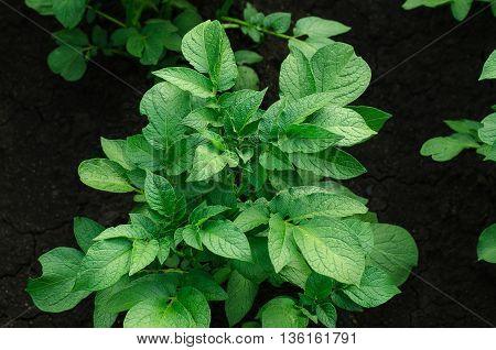 Gardening Topic: Bed With Potato Bush, Potato Leaves