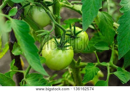 Gardening Topic: Bed Bush With Young Unripe Green Tomatoes
