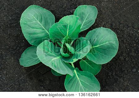 Gardening Topic: Bed Bush With Young Green Cabbage