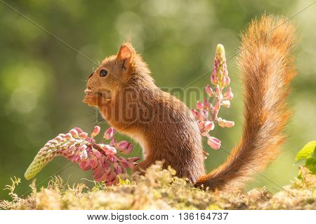 red squirrel standing between 2 lupine flowers with tail up