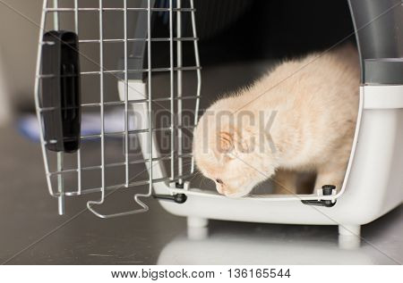 pets, animals and cats concept - close up of scottish fold kitten inside cat carrier box