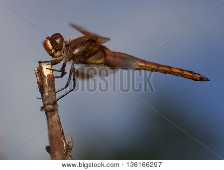 Dragonfly waiting for a bug to fly by with sky in the background