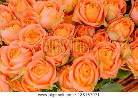 Closeup of peach rose flowers