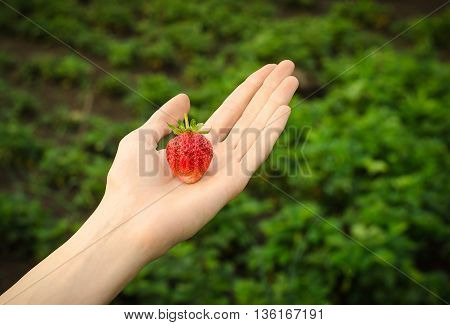 Summer Berries Topic: Man Is Holding A Ripe Red Strawberries On A Green Background