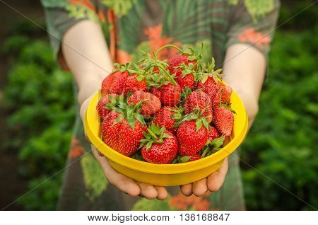 Summer Berries Topic: Man Holds A Plate With A Ripe Red Strawberry Garden On A Green Background