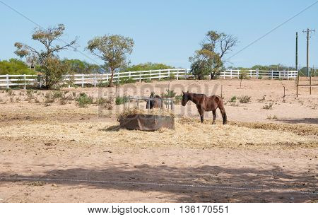 Agricultural landscape with horses feeding at a hay feeder in an open pasture with fence line, trees and a blue sky in Western Australia.