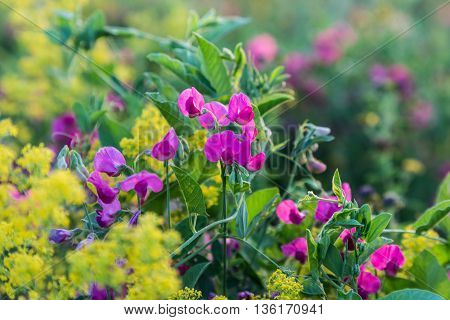 summer meadow - wildflower ( Lathyrus tuberosus) on colorful natural blurred background
