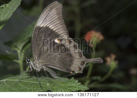 Emerald Swallowtail Butterfly on a leaf with closed wings