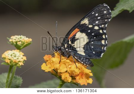Gaudy Patch Butterfly on an orange flower