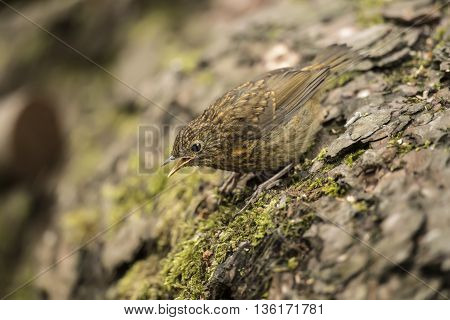 Robin Redbreast, Juvenile, Erithacus Rubecula, Perched On A Tree Trunk, Tweeting