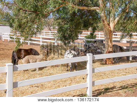Ponies and Llama feeding at hay feeder in white fenced pen with eucalyptus tree in Western Australian farmland.
