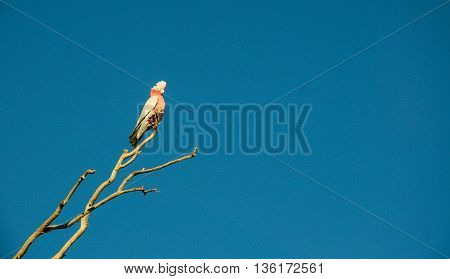 Single galah cockatoo bird on a leafless tree branch with a blue sky background in Western Australia.