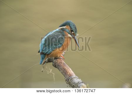Kingfisher ,alcedo Atthis, Perching On A Branch, Close Up